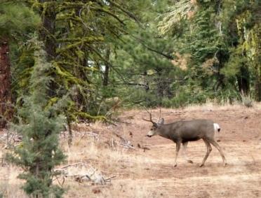 Big Mule Deer Buck