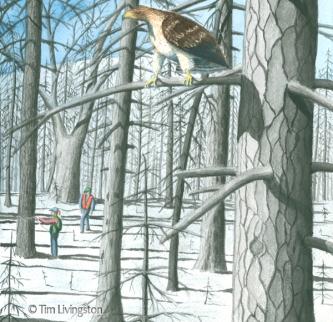 watercolor, watercolour, hawk, Redtail Hawk, fire salvage, Firestorm, Firestorm In The Forest