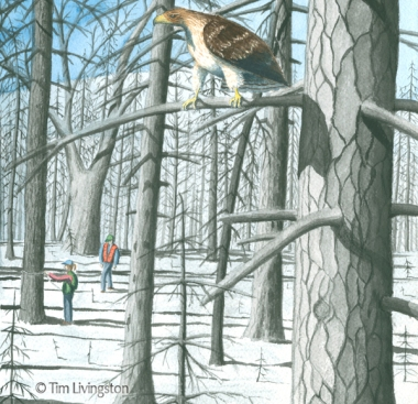 watercolor, watercolour, hawk, Redtail Hawk, fire salvage, Firestorm, Firestorm In The Forest
