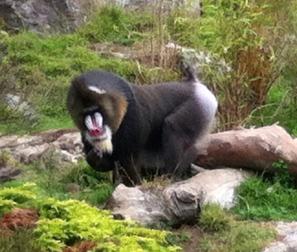 Mandrill at the San Francisco Zoo.
