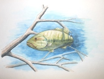 Large Mouth Bass Study 2