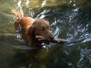 Blitz, swim, stick, fetch, golden retriever, golden, retriever