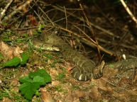 The Northern Pacific Rattlesnake as photographed that day.