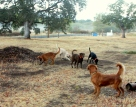 Labrador Retriever, Golden Retriever, Labs, Goldens, dogs