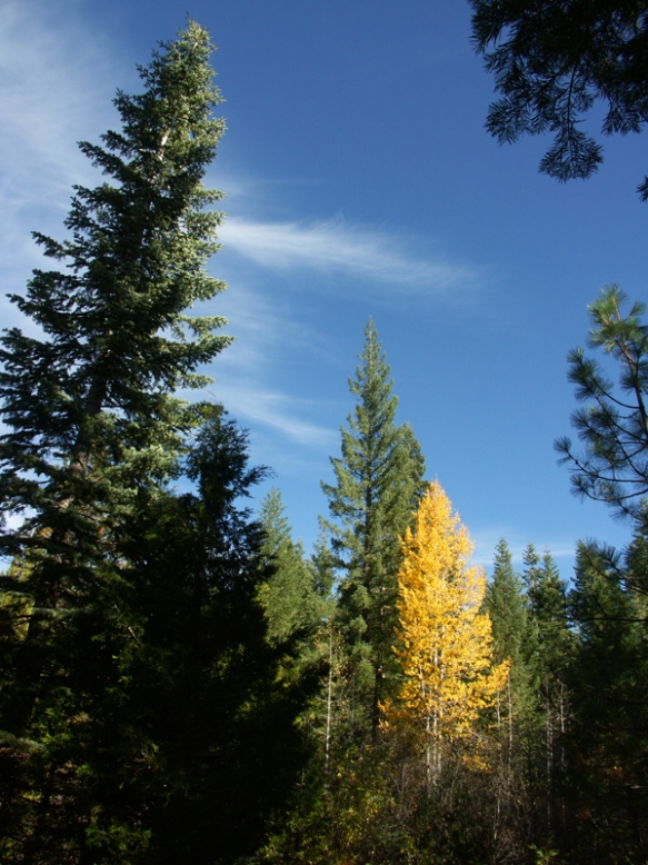 White fir, Aspen, forest, blue sky