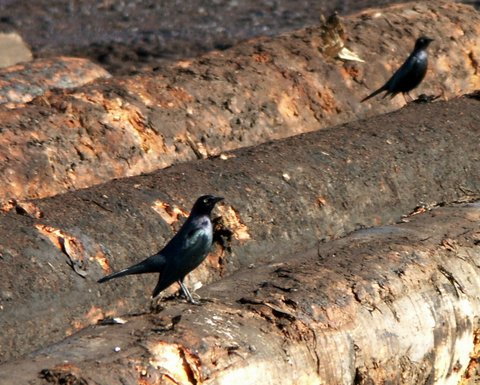 black birds, logs, logging, grubs, photo, photography
