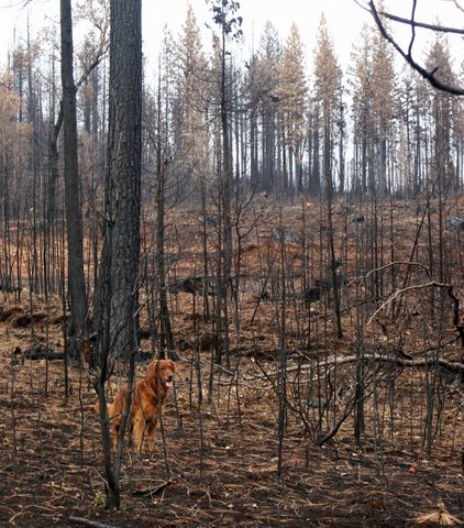 fire salvage, burned timber, timber, forest, golden retriever