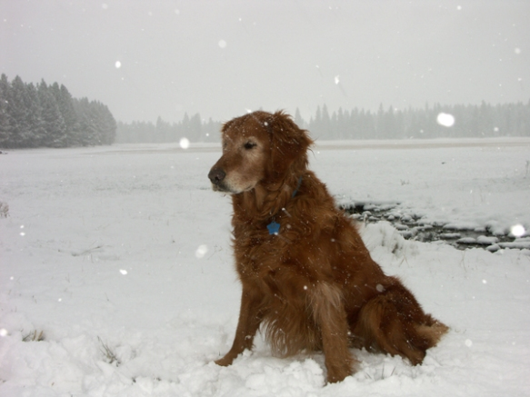 Nellie, golden retriever, golden, snow