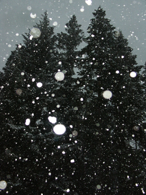 white fir, snowing