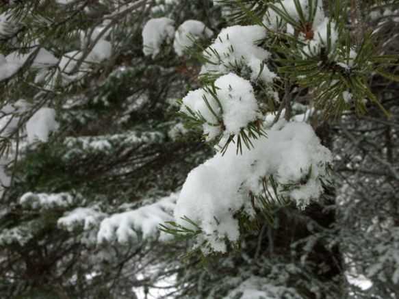 Snow, Lodgepole pine
