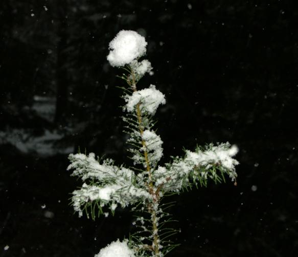 Douglas-fir, sapling