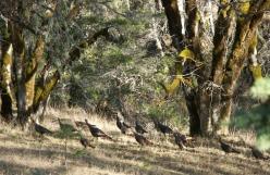 turkey, wild turkeys, photo, Photography