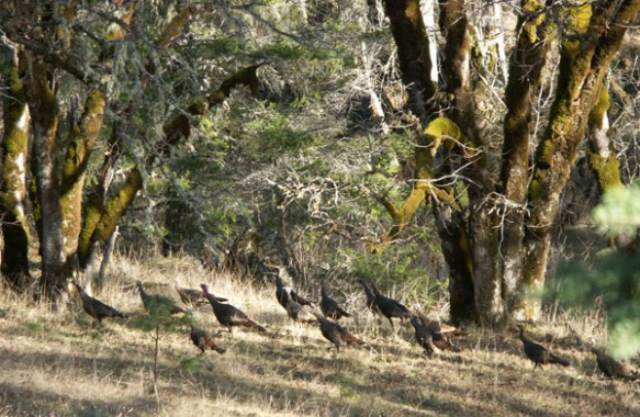 turkey, wild turkeys, photo,  Photography