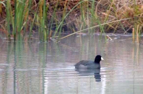coot, duck, nature, wildlife, photography