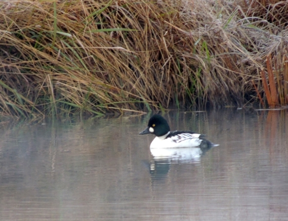Goldeneye, duck, wildlife, photography