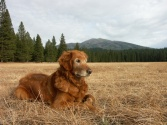 Nellie, Burney Mountain, nature, golden retriever, dog, photography