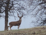 Buck, black tailed deer, deer, wildlife, photography, nature