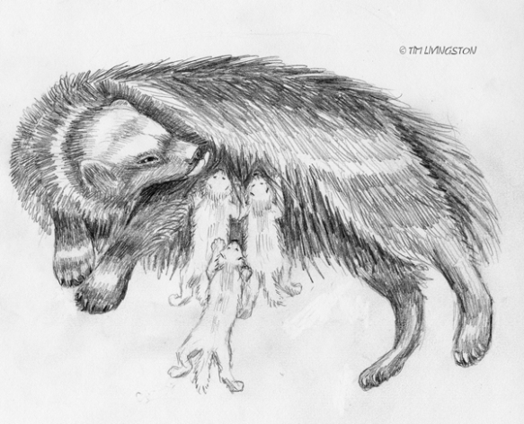 Wolverine, kits, cubs, animal babies, drawing, sketch, pencil, art
