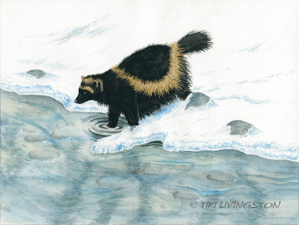 wolverine, watercolor, watercolour