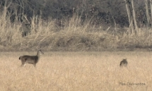Coyote, doe, deer, buck, stalking, hunting, feeding