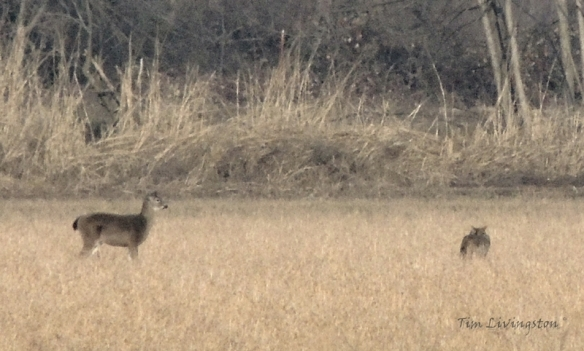 Coyote, doe, deer, buck, stalking, hunting, feeding