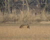 Coyote, hunting, stalking, prey