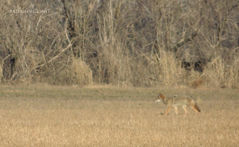 Coyote, Stalking, hunting, deer