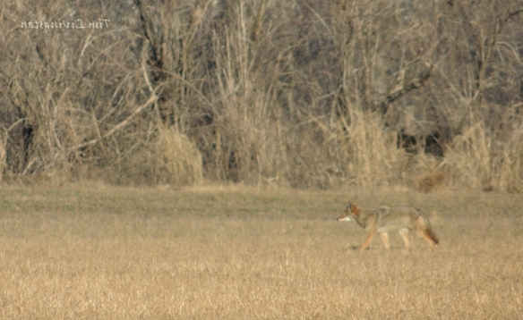 Coyote, Stalking, hunting, deer