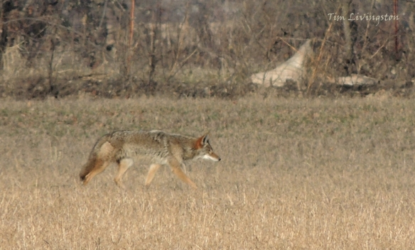 Coyote, hunting, stalking, prey