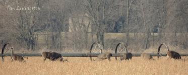 Deer Herd feeding