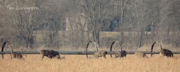 Deer, herd, feeding, black-tail deer
