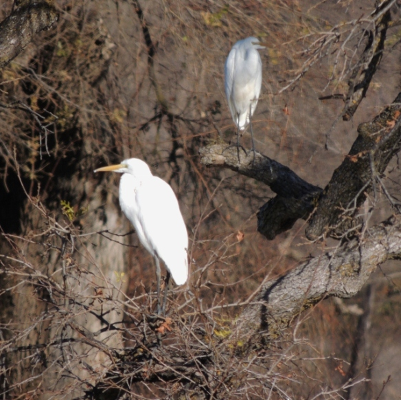 Egrets, Cattle Egrets, Valley Oak