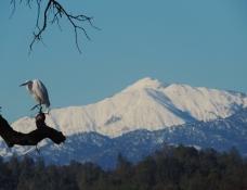 Egret, Cattle Egret, Bully Choop