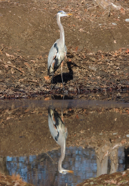"""The Great Blue Heron, also known as """"The Fly Up The Creek""""."""