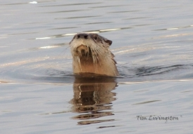 Otter, photography, wildlife, sawmill, swimming