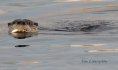Otter, photography, wildlife, sawmill, swimming, fish, fishing