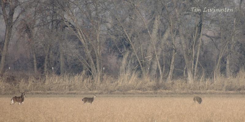 buck, doe, deer, black-tail deer, prey, predator