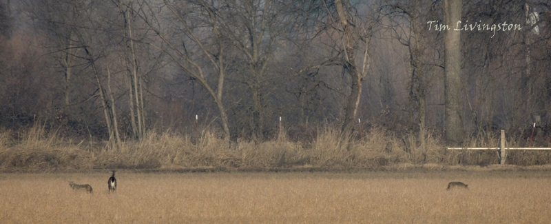 coyote, deer, doe, predator, prey, fight back, retreat