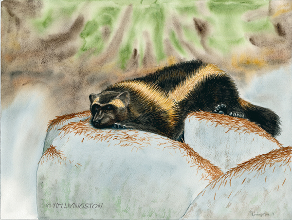 wolverine, gulo gulo, wildlife, watercolor, wildlife art, nature