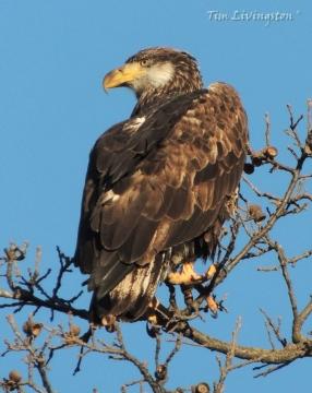 bald eagle, juvenile, photography, nature, wildlife
