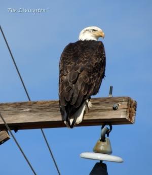 bald eagle, eagle, pair, photography, nature, wildlife