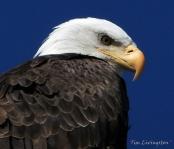 Bald Eagle, eagle, photography, nature, wildlife