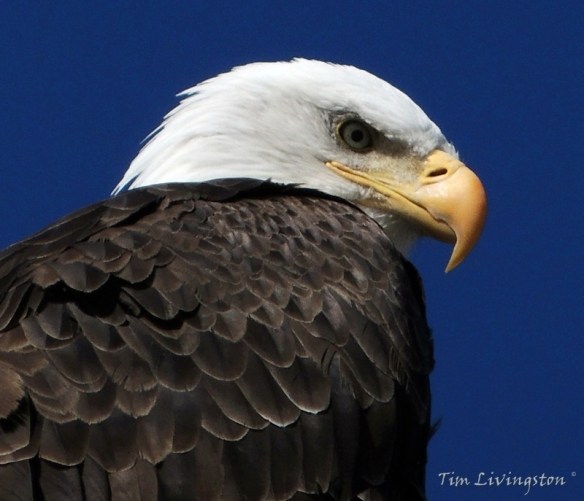 Bald Eagle, eagle, photography, nature, wildlife