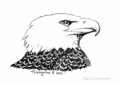 Bald Eagle, eagle, art, sketch, drawing, pen and ink