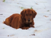golden retriever, snow, dog, photography