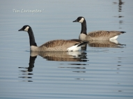 wildlife, photography, goose, geese, Canada Geese, honkers, waterfowl