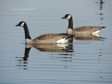 wildlife, photography, goose, geese, Canada Geese, honkers, waterfowl