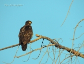 golden eagle, eagle, photography, nature, wildlife
