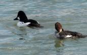 wildlife, photography, goldeneye, waterfowl, ducks
