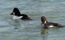 wildlife, photography, goldeneye, waterfowl, ducks
